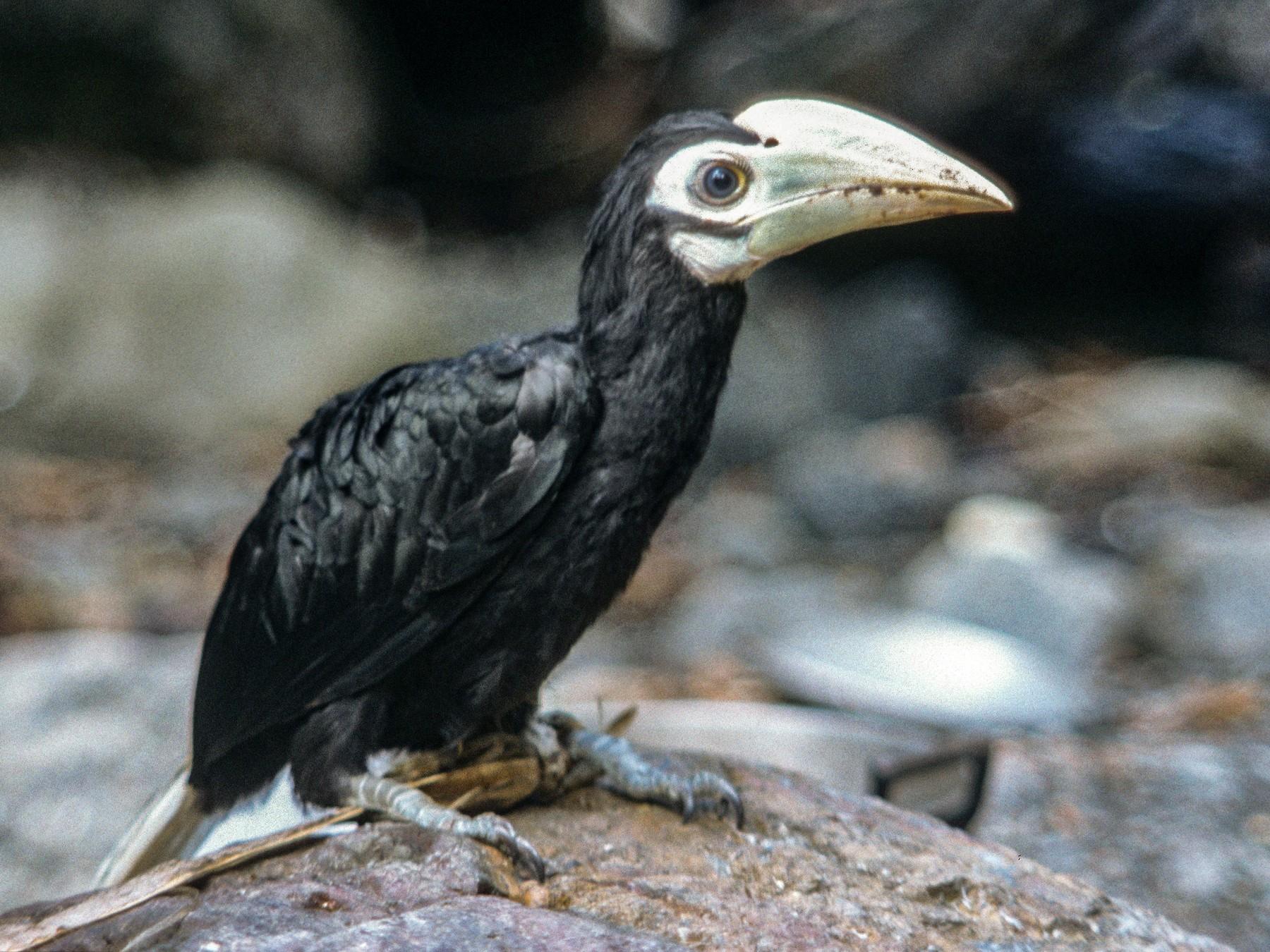 Palawan Hornbill - Lorenzo Vinciguerra
