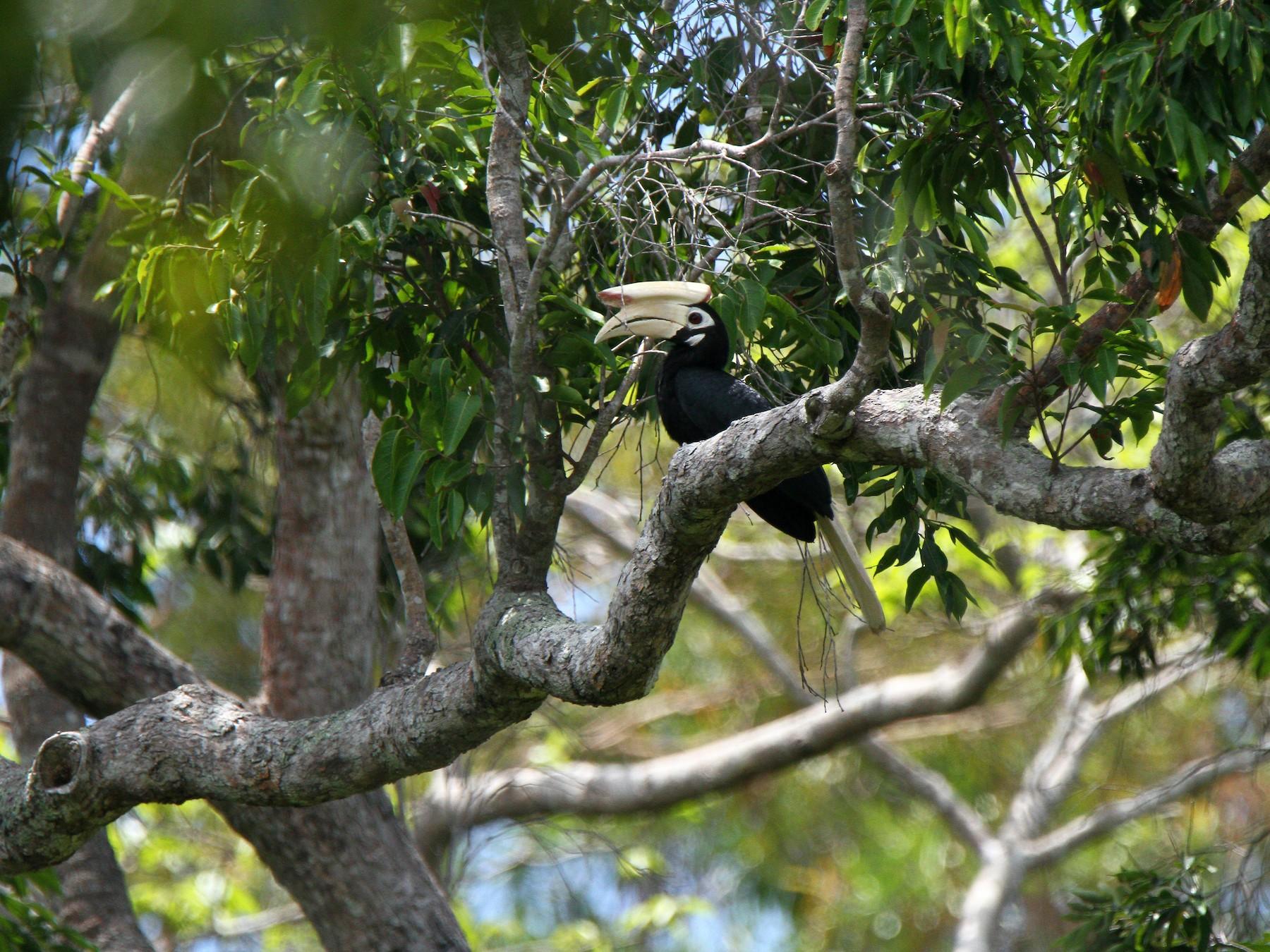 Palawan Hornbill - Kuang-Ping Yu