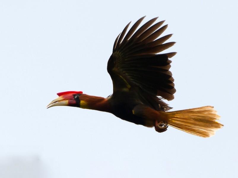 Rufous Hornbill - Frédéric PELSY