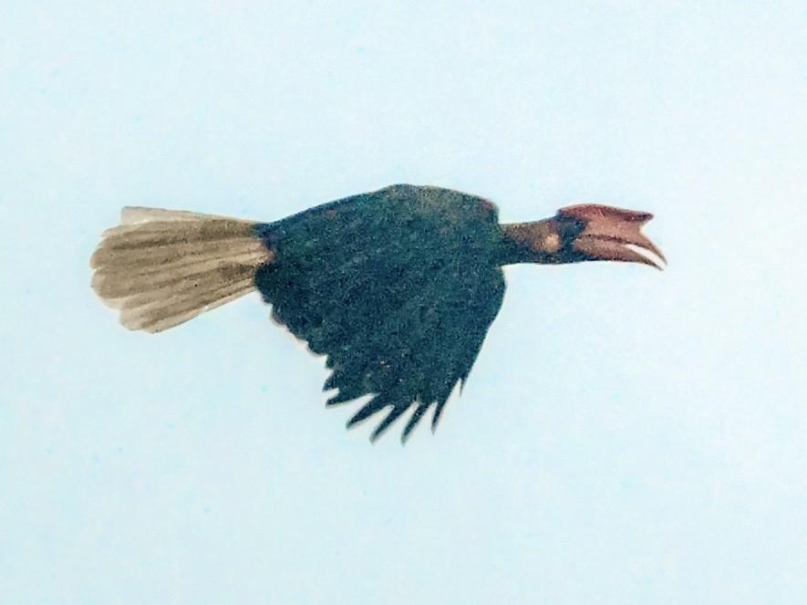 Rufous Hornbill - Nikolaj Mølgaard Thomsen
