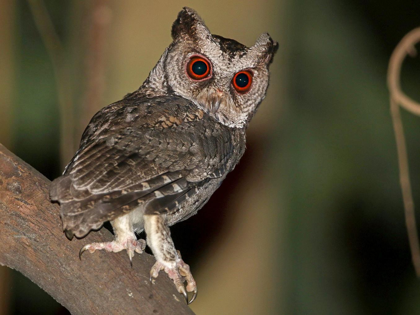 Philippine Scops-Owl - Irene  Dy