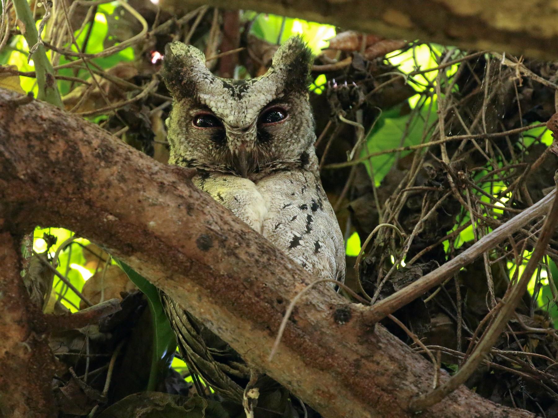 Philippine Scops-Owl - Tommy Pedersen