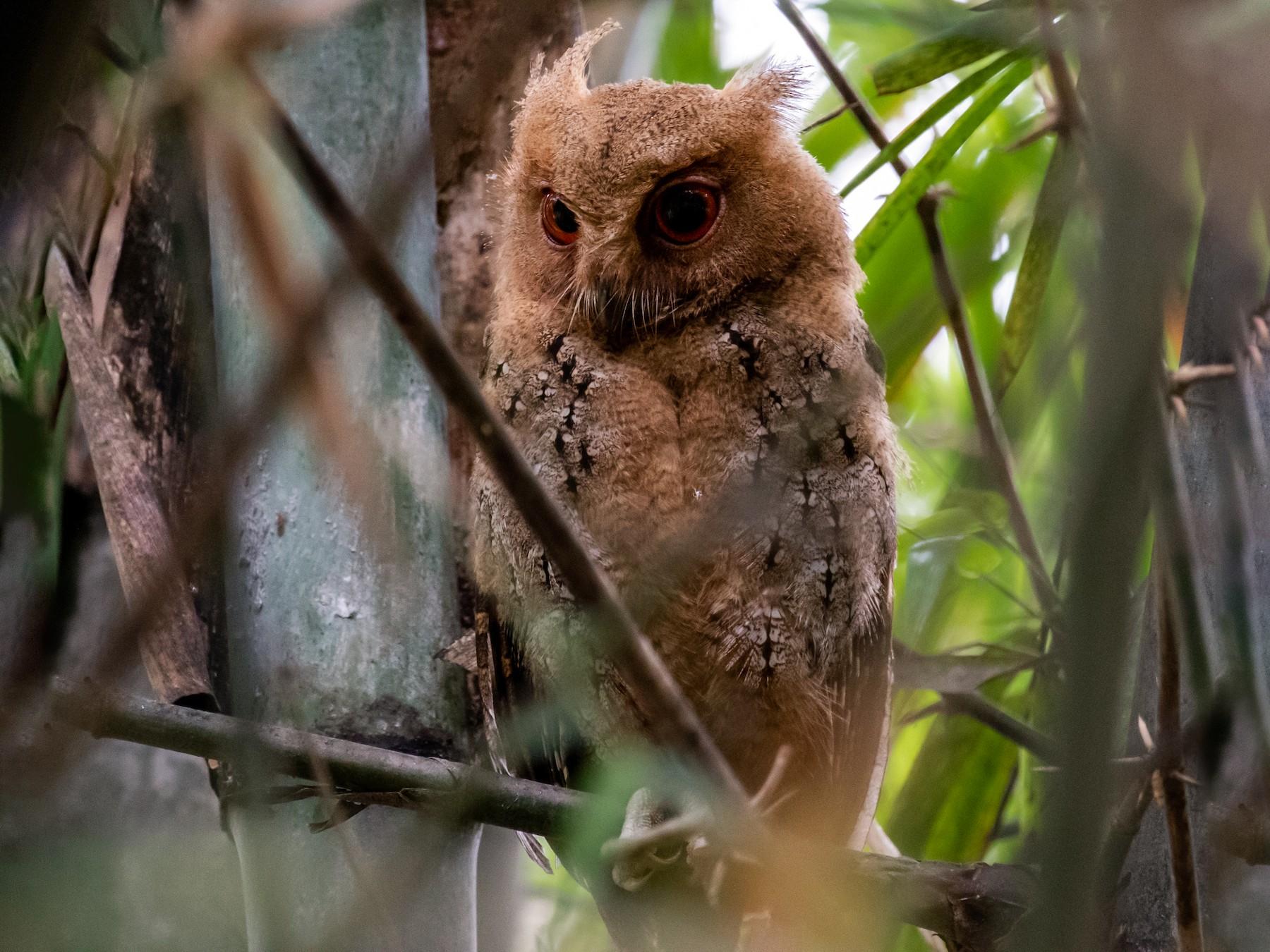 Philippine Scops-Owl - Ron Hoff Dollyann Myers