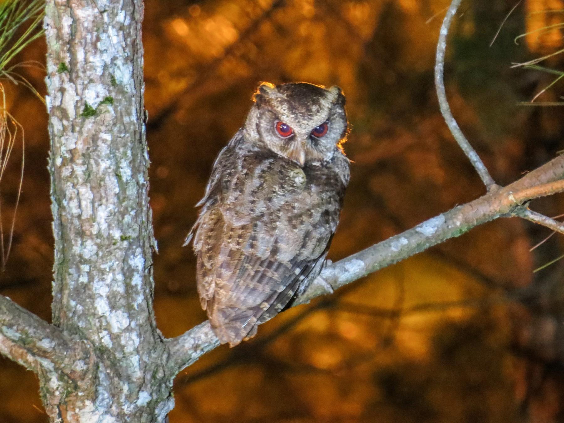 Philippine Scops-Owl - George Inocencio