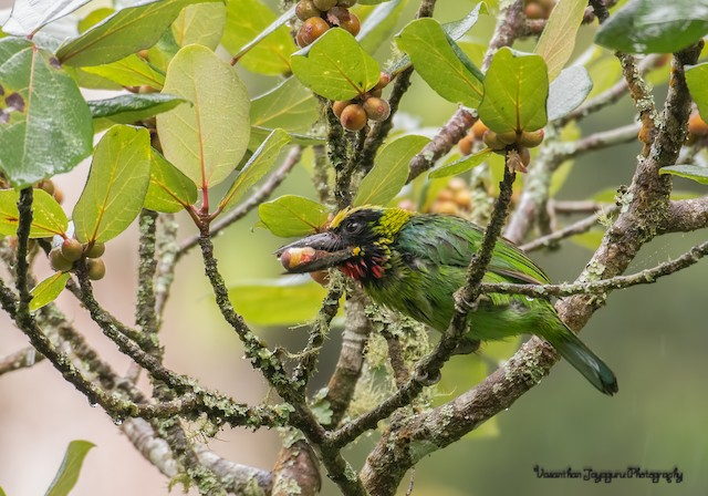 Black-banded Barbet