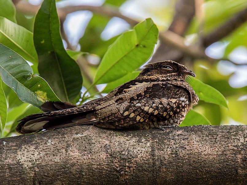 Philippine Nightjar - Djop Tabaranza