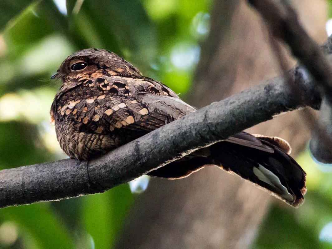 Philippine Nightjar - Forest Jarvis