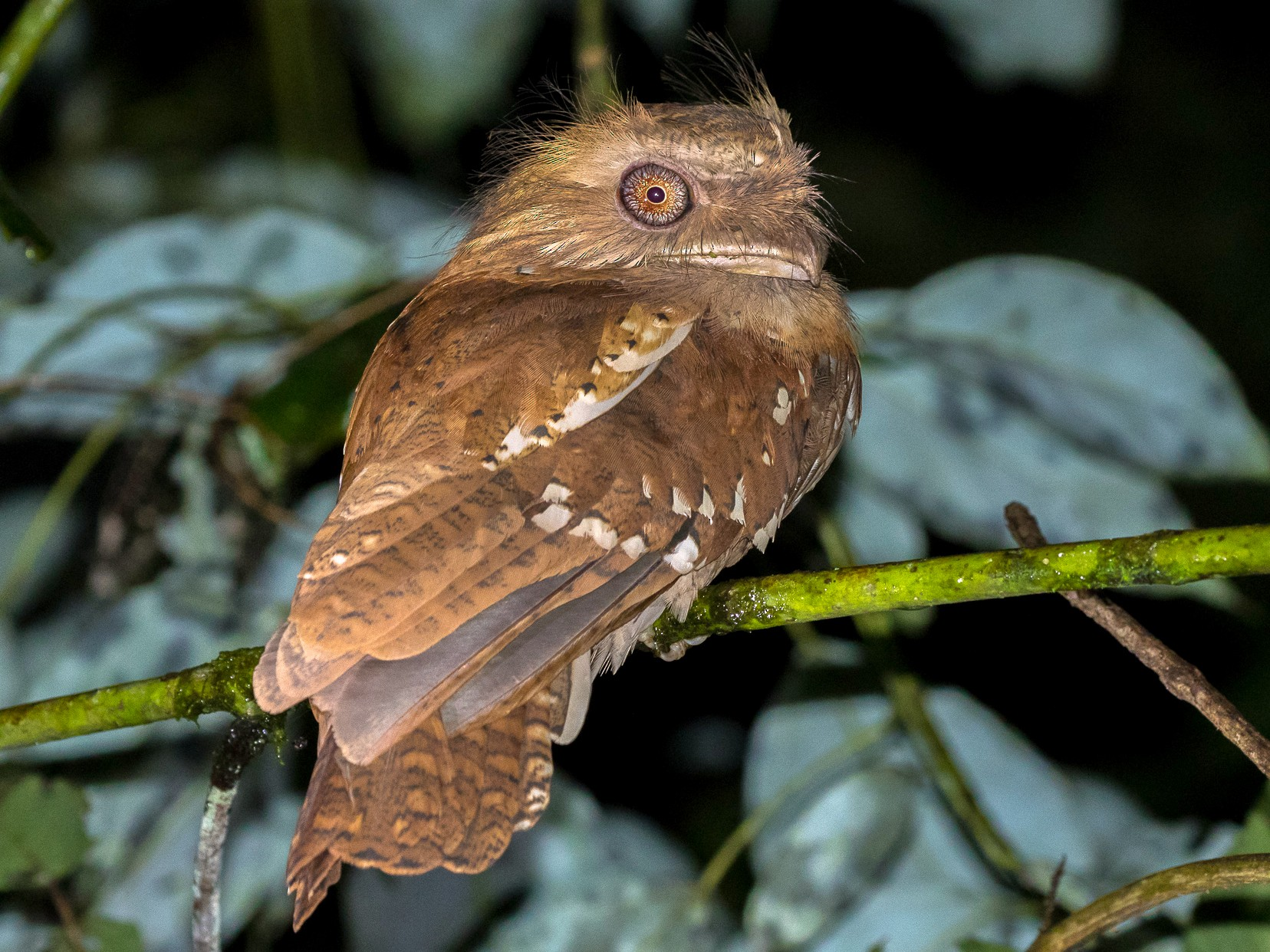 Philippine Frogmouth - Louis Bevier