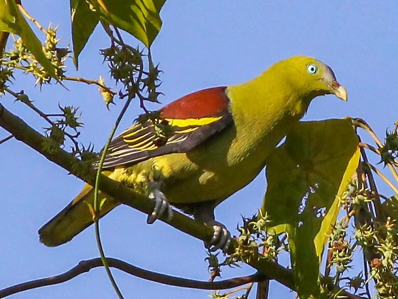 Philippine Green-Pigeon - Chris Chafer