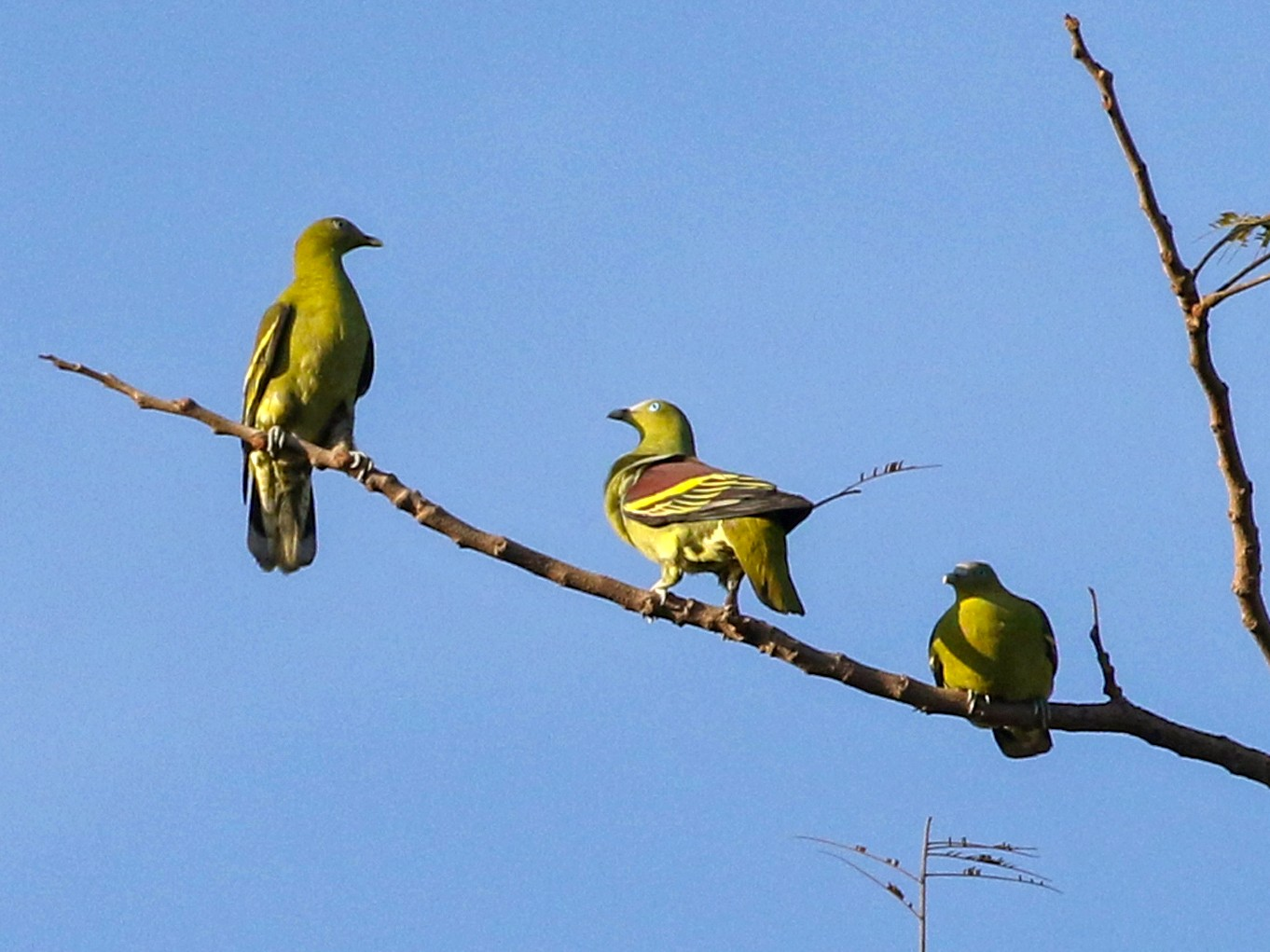 Philippine Green-Pigeon - Charley Hesse
