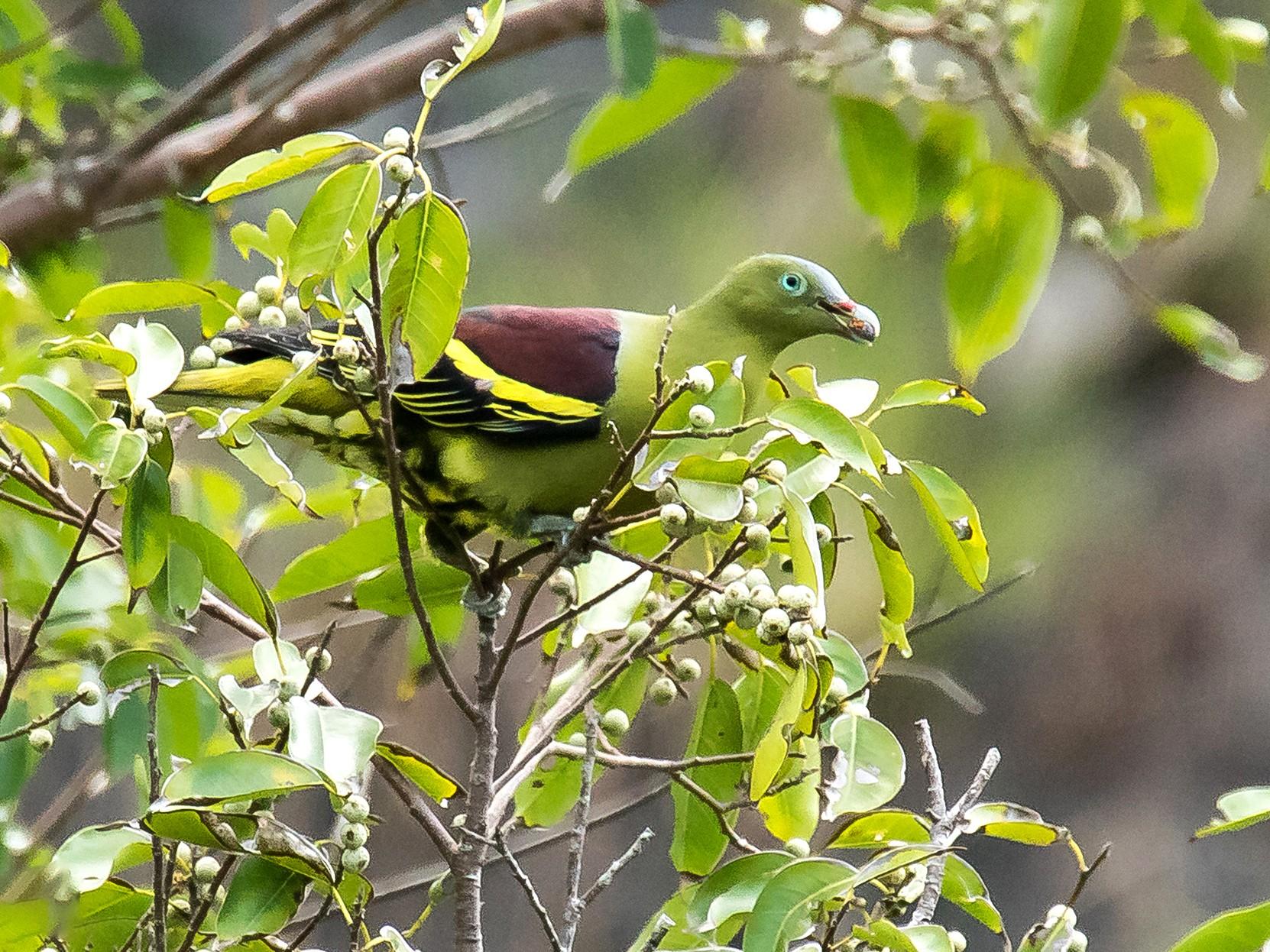 Philippine Green-Pigeon - Djop Tabaranza