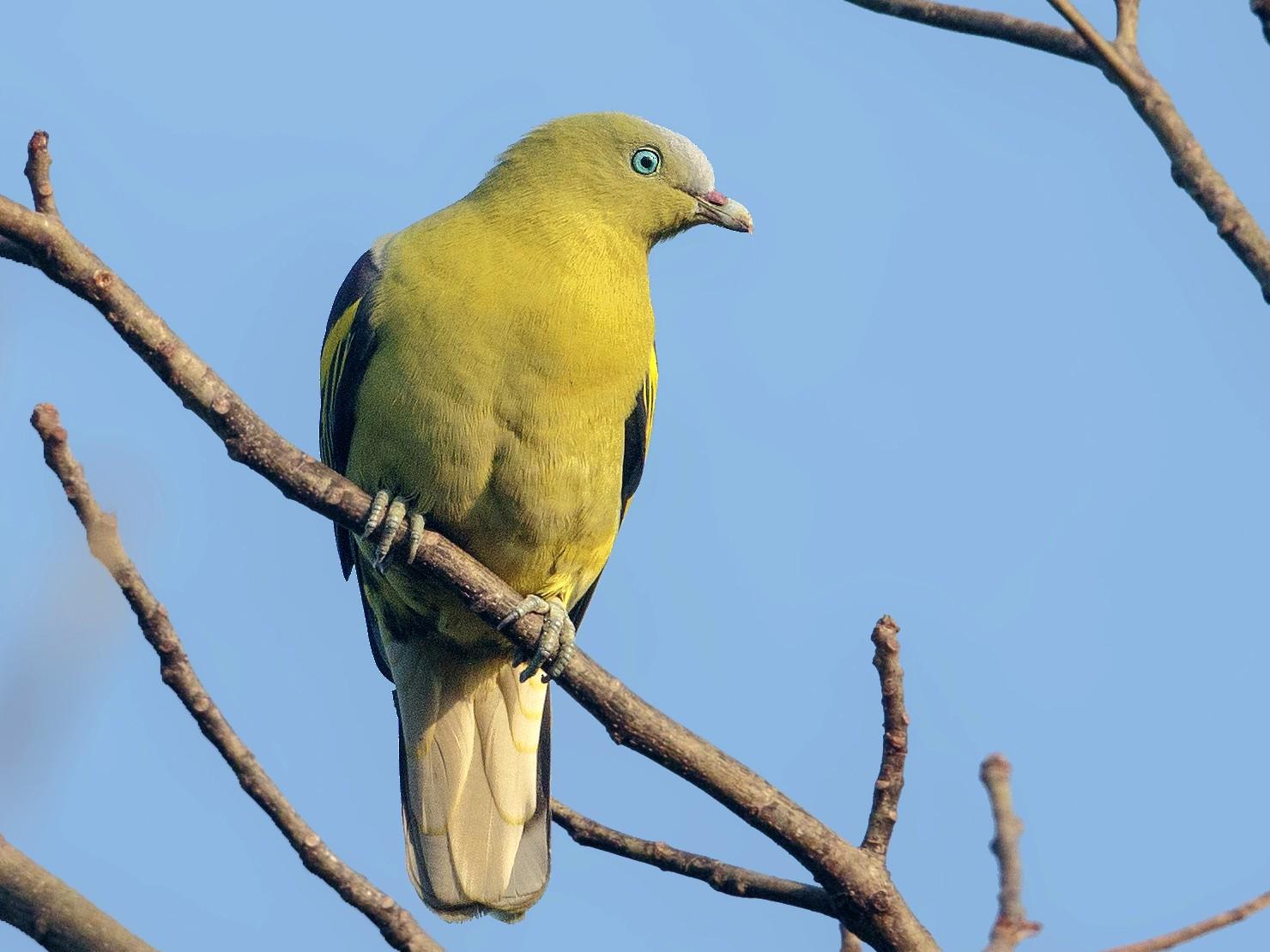 Philippine Green-Pigeon - Bradley Hacker 🦜