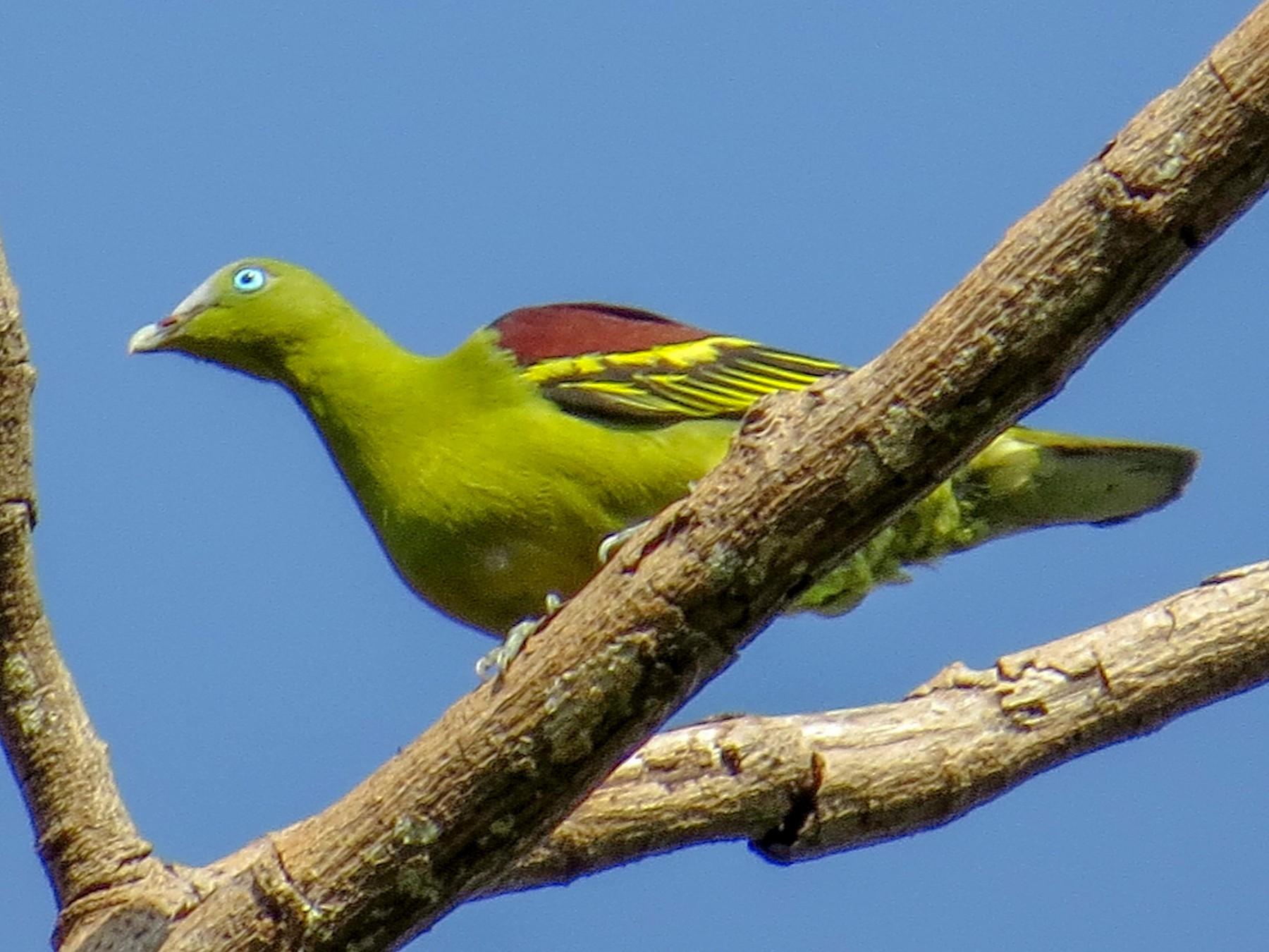 Philippine Green-Pigeon - George Inocencio