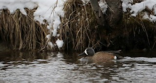 Blue-winged Teal, ML26730781