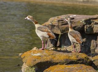Egyptian Goose, ML267506811