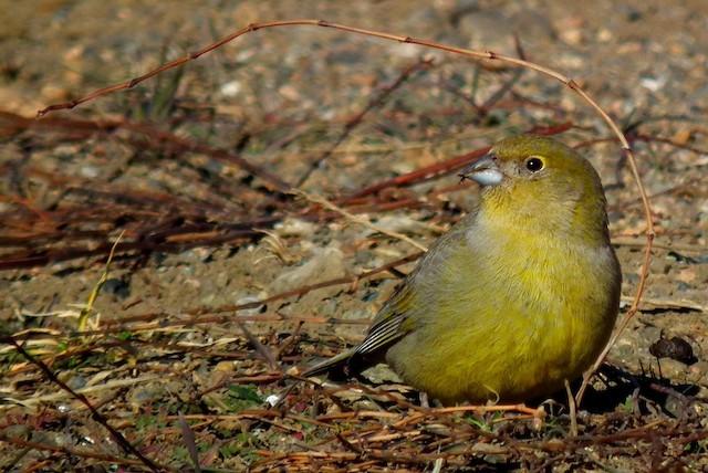 Patagonian Yellow-Finch