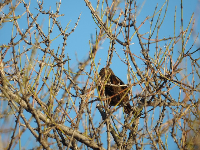 Yellow-winged Blackbird