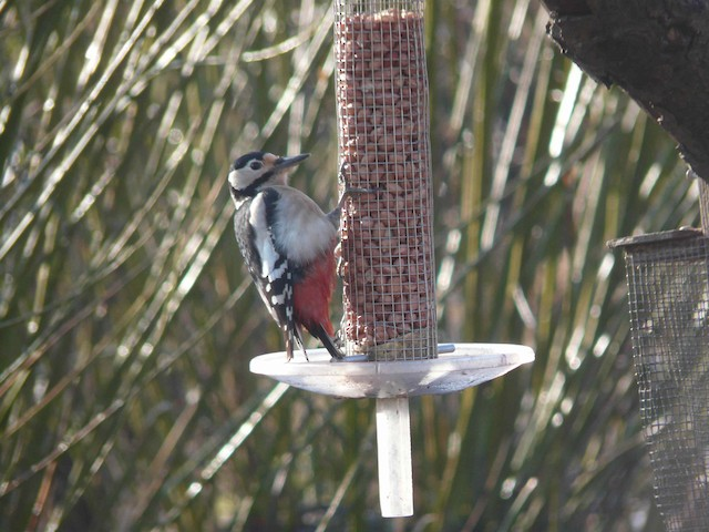 Great Spotted Woodpecker (Great Spotted)