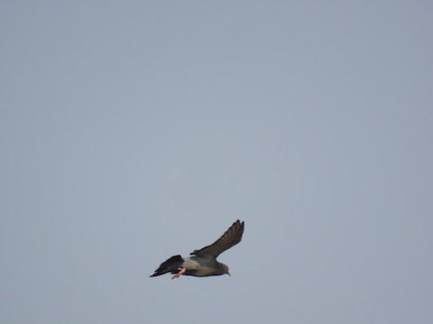 Rock Pigeon (Feral Pigeon) - Liam Hampl