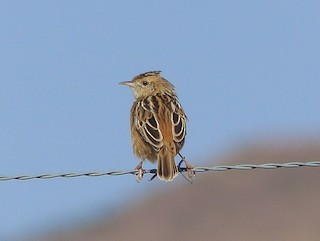 - Wing-snapping Cisticola