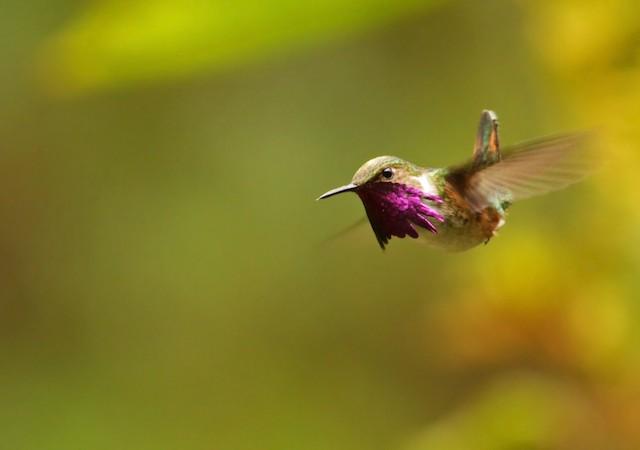 ©Ian Davies - Bumblebee Hummingbird