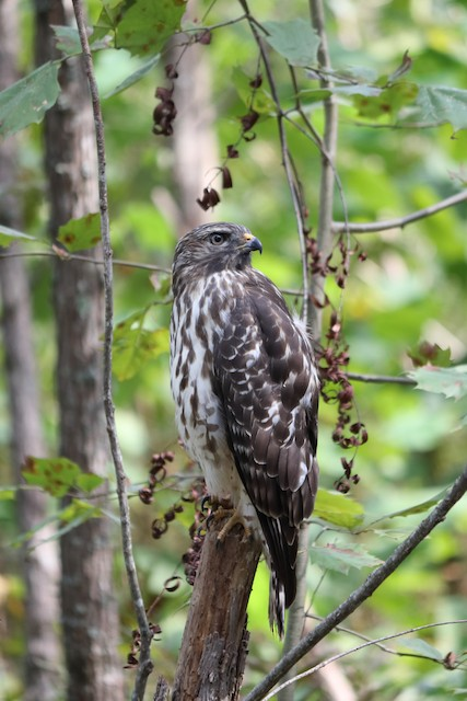 Red-shouldered Hawk (lineatus Group)