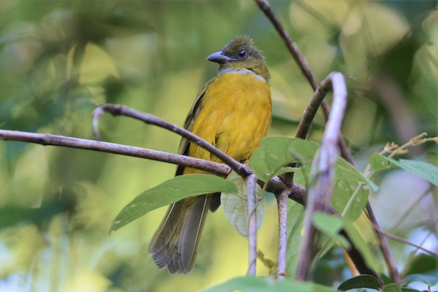 Gray-headed Tanager