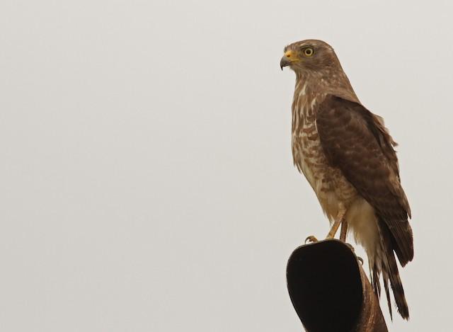 Roadside Hawk (Northern)