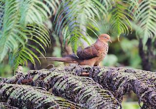 - Little Cuckoo-Dove
