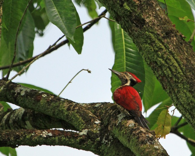 Red-backed Flameback
