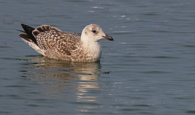 Herring Gull (Vega)