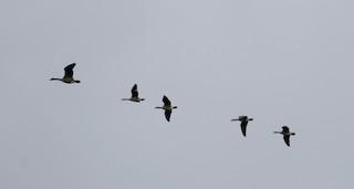 Cackling Goose (Richardson's), ML269370661