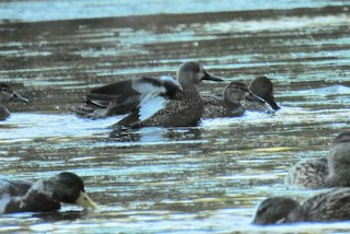 Blue-winged Teal, ML269373481