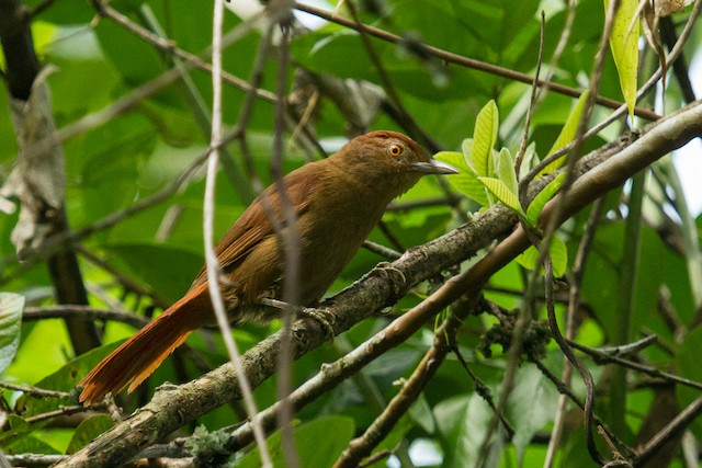 Chestnut-crowned Foliage-gleaner