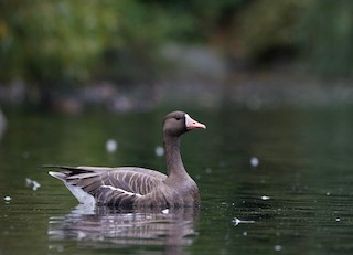 Greater White-fronted Goose, ML269666231