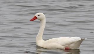 Coscoroba Swan, ML270809041