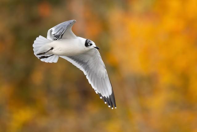 ©Ryan Sanderson - Franklin's Gull