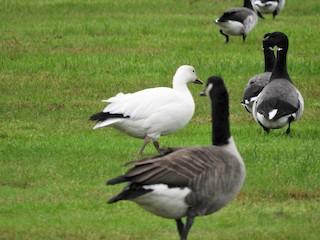 Snow Goose, ML270941351