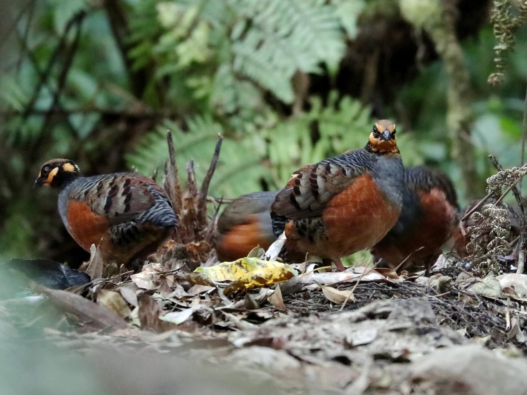 Chestnut-bellied Partridge - Edmond Sham