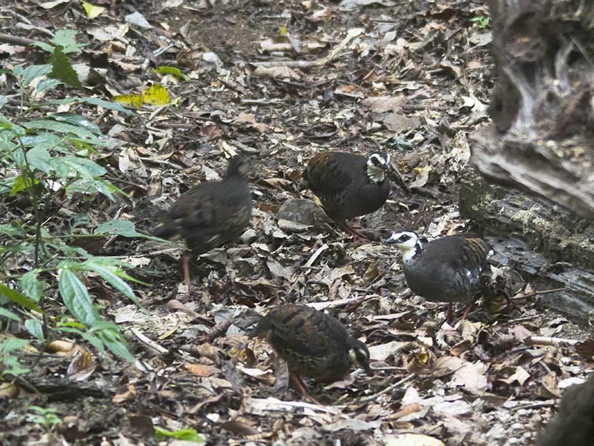 Gray-breasted Partridge - Asman Adi Purwanto