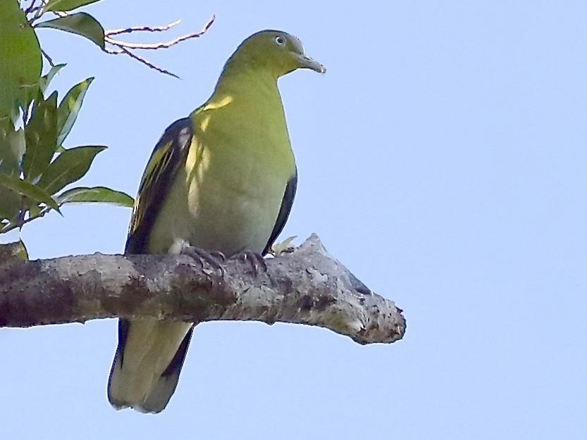 Buru Green-Pigeon - Mark Sutton