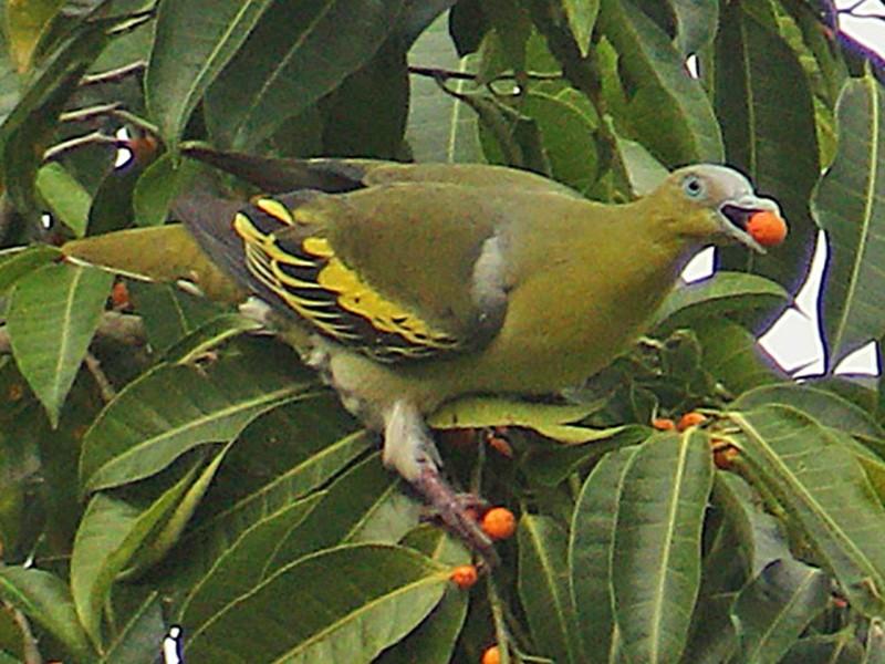 Buru Green-Pigeon - James Eaton