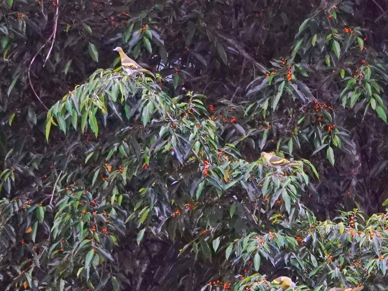 Buru Green-Pigeon - Deanna Mac Phail
