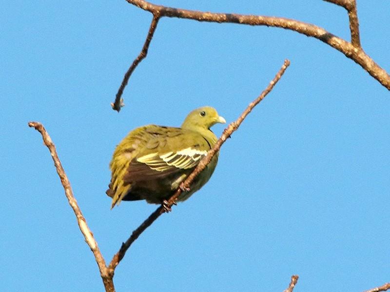 Sumba Green-Pigeon - Pitta Tours