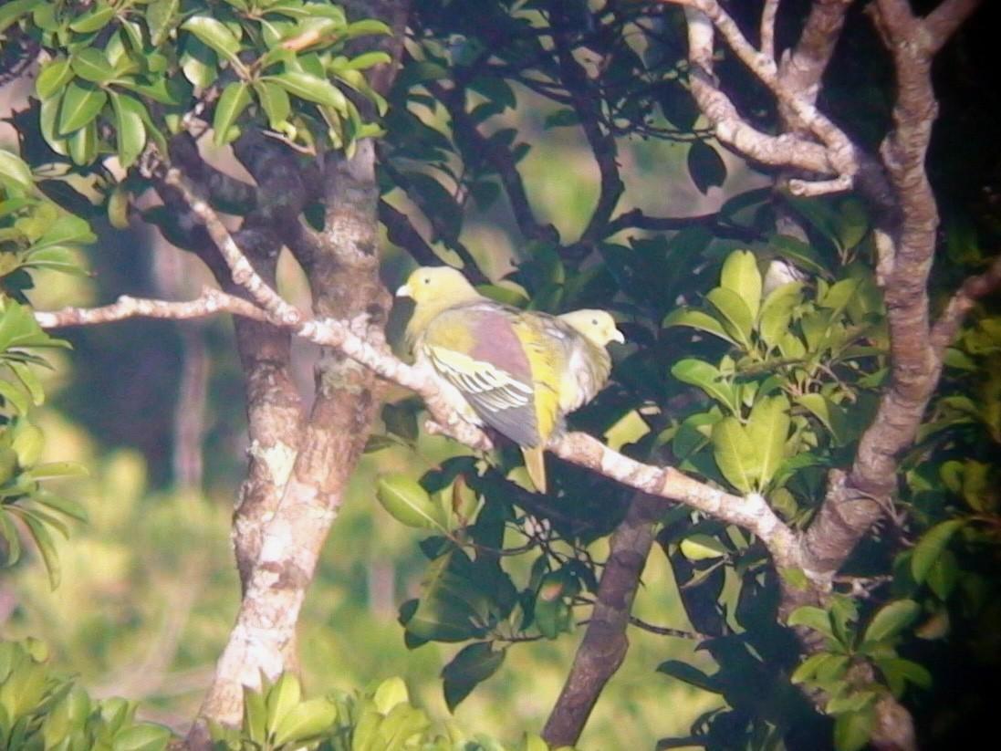 Sumba Green-Pigeon - Mark Sutton
