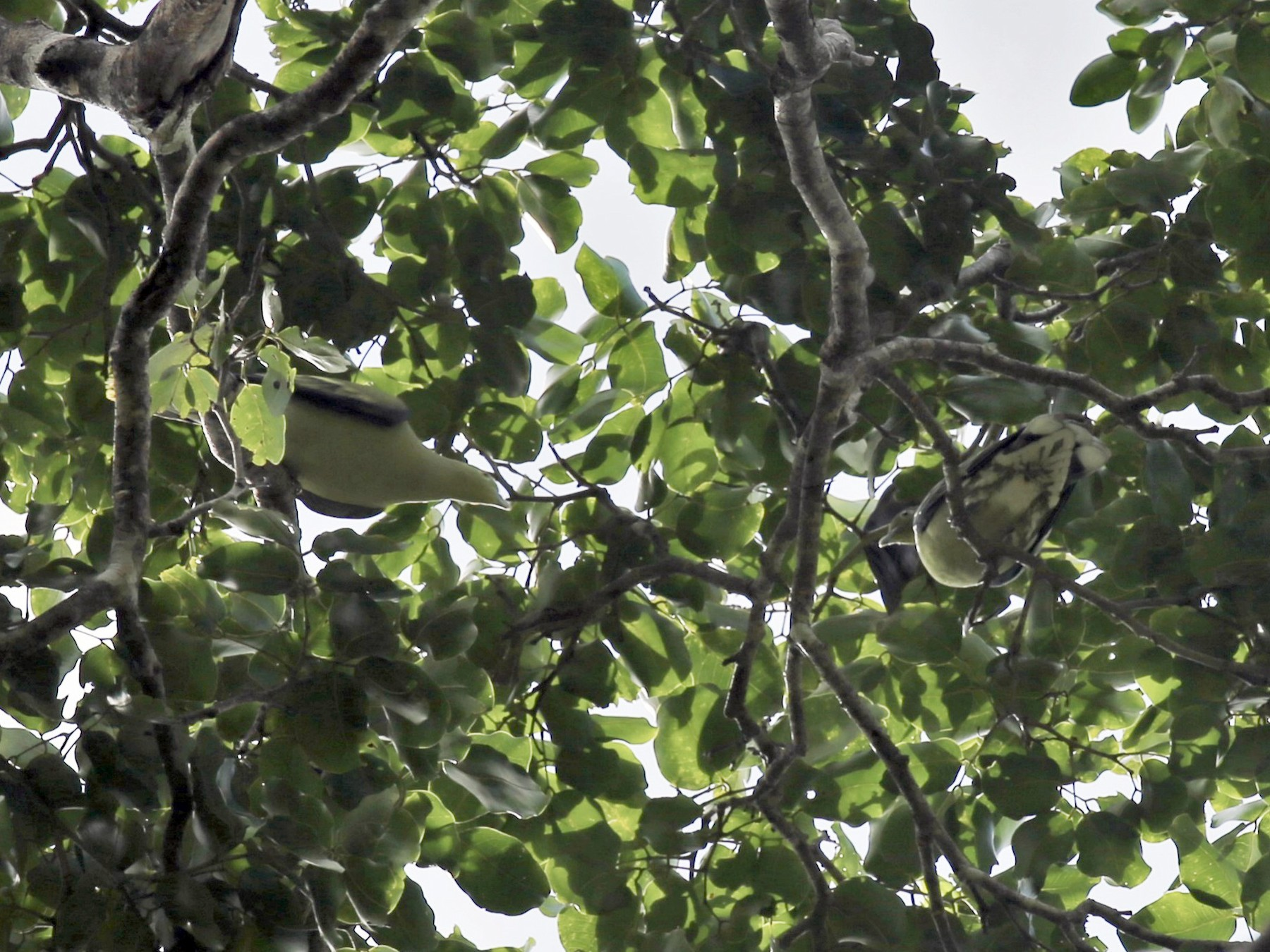 Timor Green-Pigeon - Jafet Potenzo Lopes