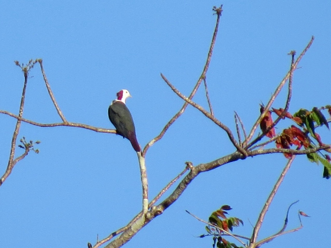 Red-naped Fruit-Dove - Mark Smiles