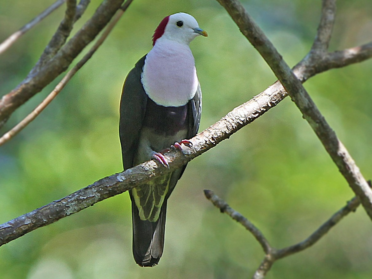 Red-naped Fruit-Dove - James Eaton