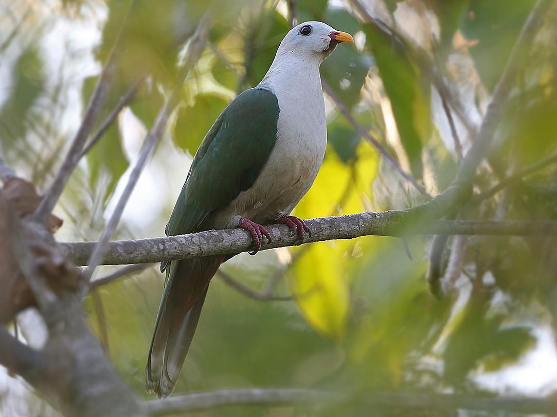 Banggai Fruit-Dove - James Eaton