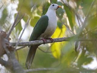 - Banggai Fruit-Dove